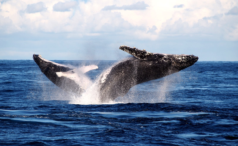 australia humpback whale watching sydney dnsw