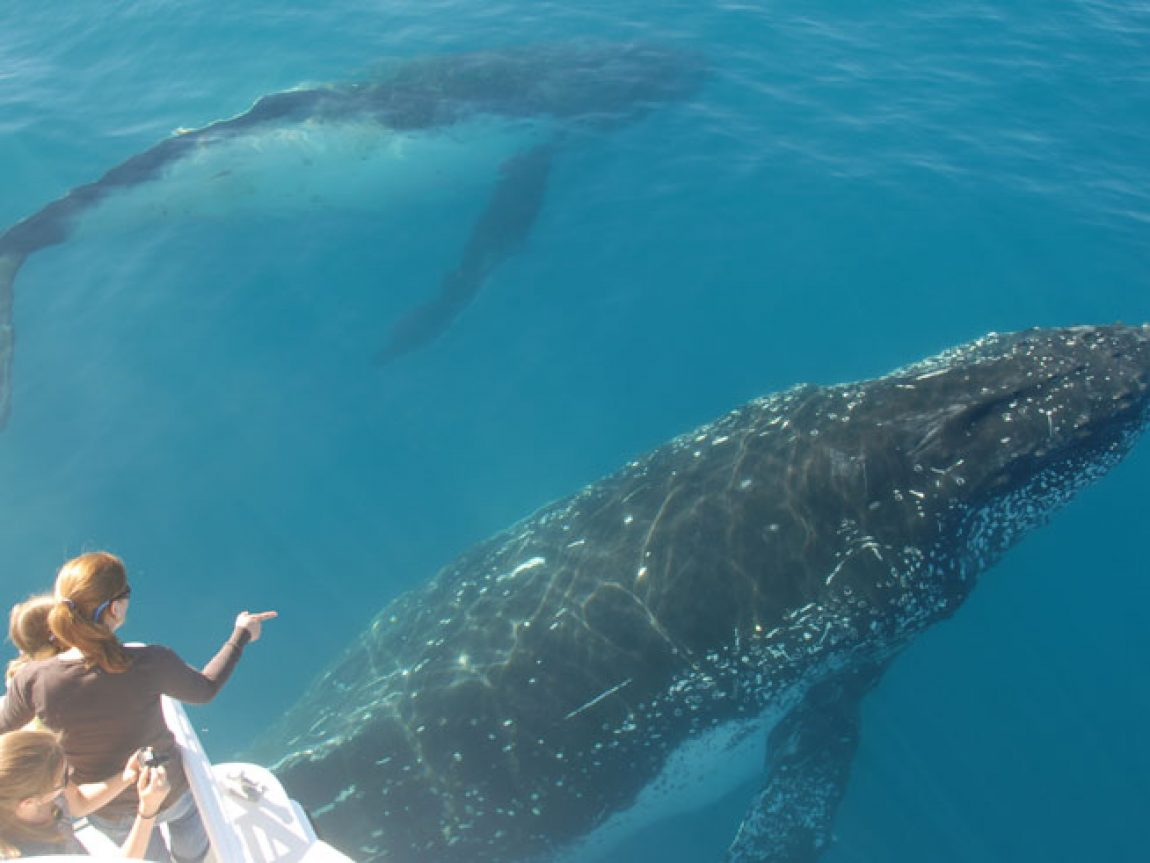 australia queensland hervey bay humpback whalesong cruises