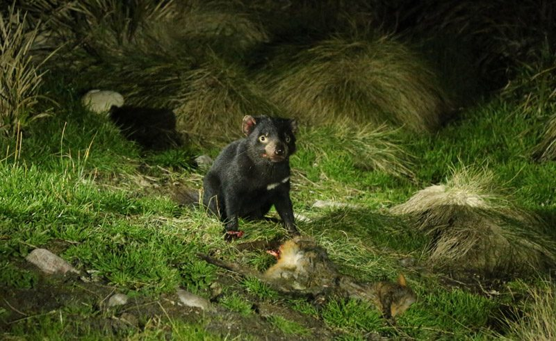 australia tasmanian devil night tt