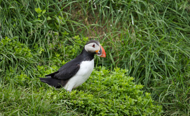 east fjords adventures at sea breiddalsvik puffin