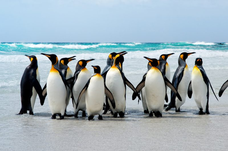 falkland islands king penguins on beach istk