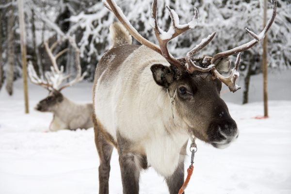 finnish lapland reindeer in snow lmb