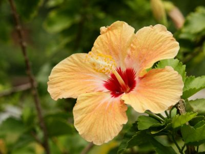 french polynesia hibiscus flower tt