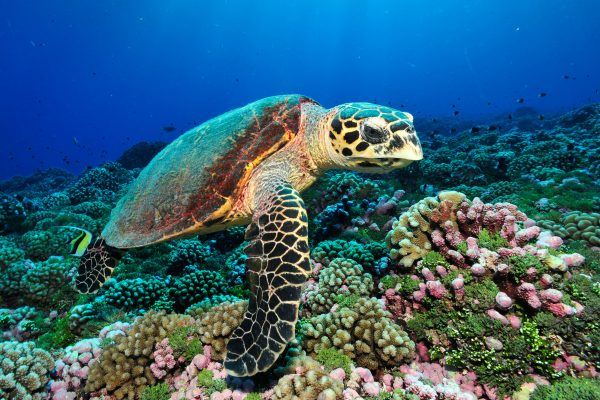 french polynesia tahiti turtle tt gd