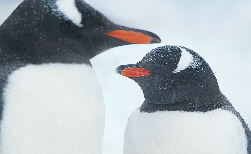 gentoo penguin pair rh
