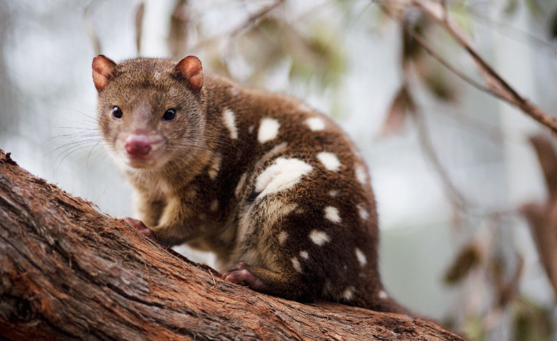 great ocean eco lodge conservation ecology centre tiger quoll