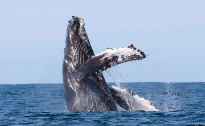 iceland west fjords humpback breaching laki