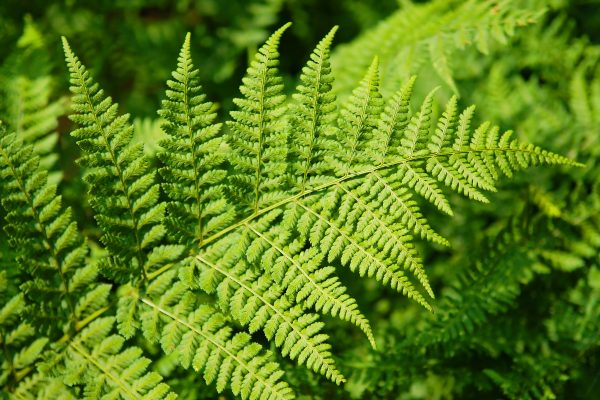 new zealand fern leaf do