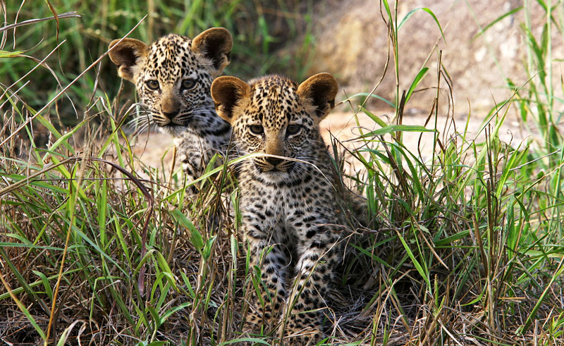 south africa wildlife leopard cubs satb