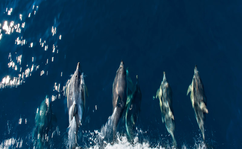 south australia temptation sailing wild dolphins