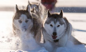 swedish lapland drive your own dogsled tour lulea