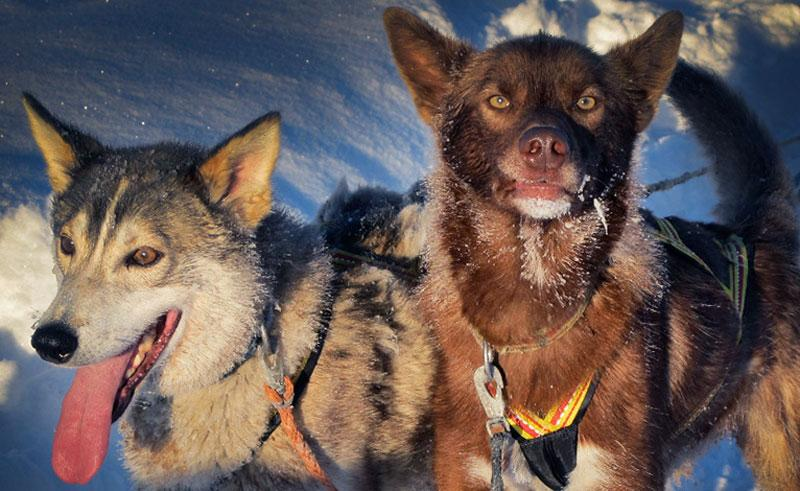 swedish lapland sled dogs at ripan