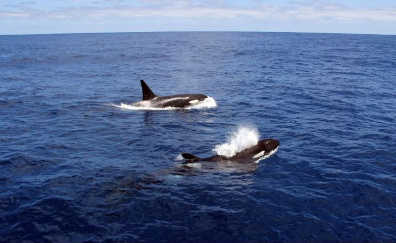 western australia bremer canyon killer whale watching