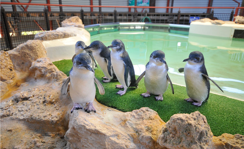 western australia rockingham little penguins rwe