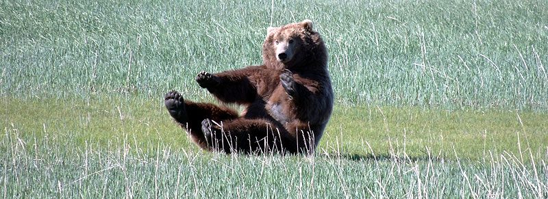 alaska katmai grizzly bear