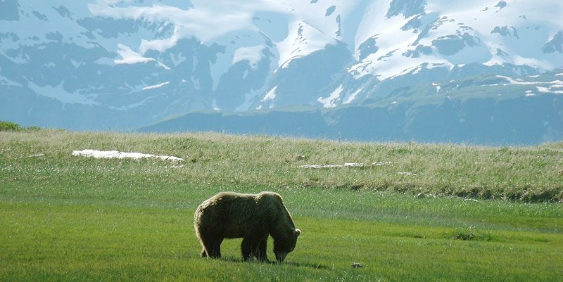 alaska katmai grizzly bear2