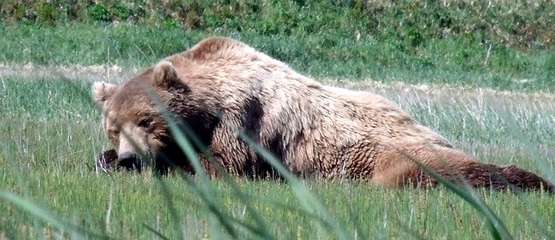 alaska katmai grizzly bear3