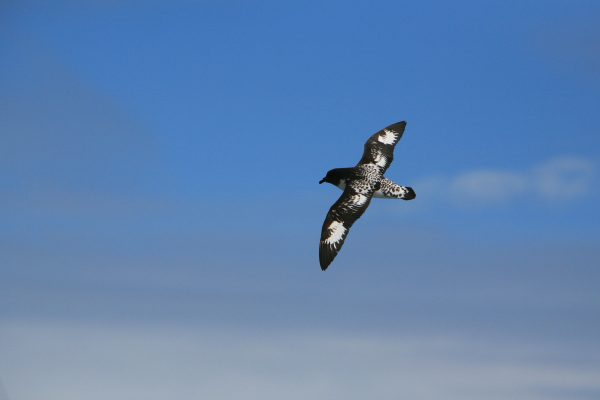 antarctica cape petrel over drake passage istk
