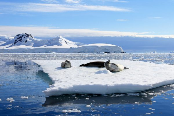 antarctica crabeater seals at rest istk