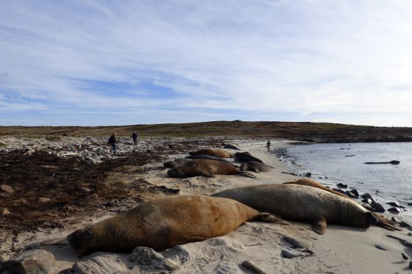 antarctica falkland islands elephant seals gt