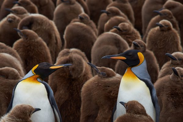 antarctica falkland islands king penguin creche violunteer point istk