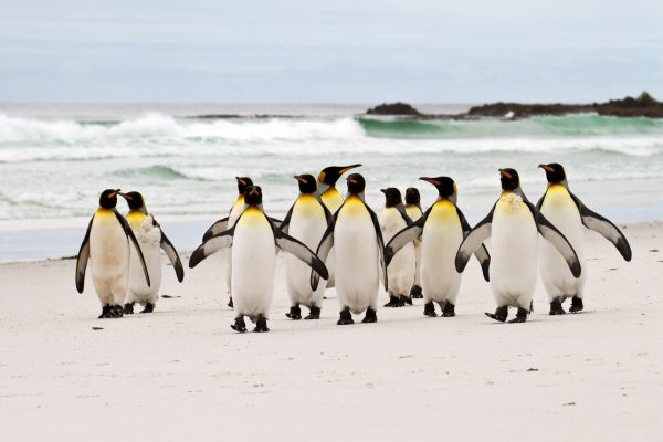 antarctica falkland islands king penguins volunteer point istk