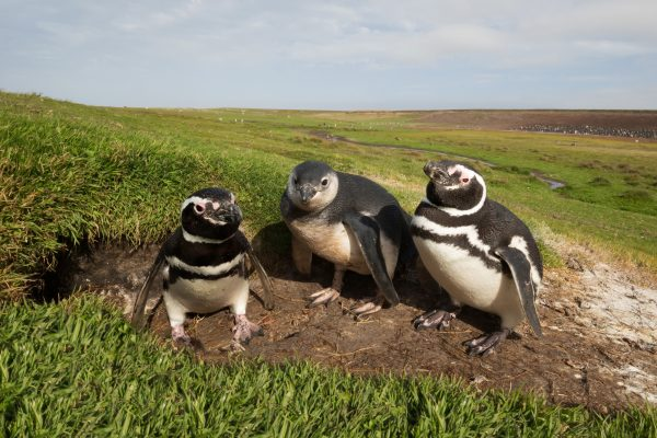 Magellanic penguins, Falklands