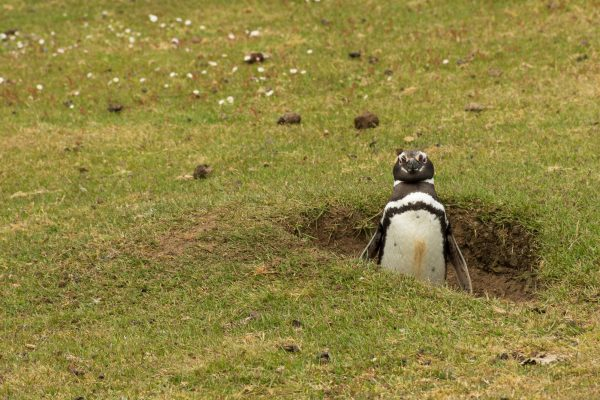 antarctica falklands magellanic penguin guarding burrow istk