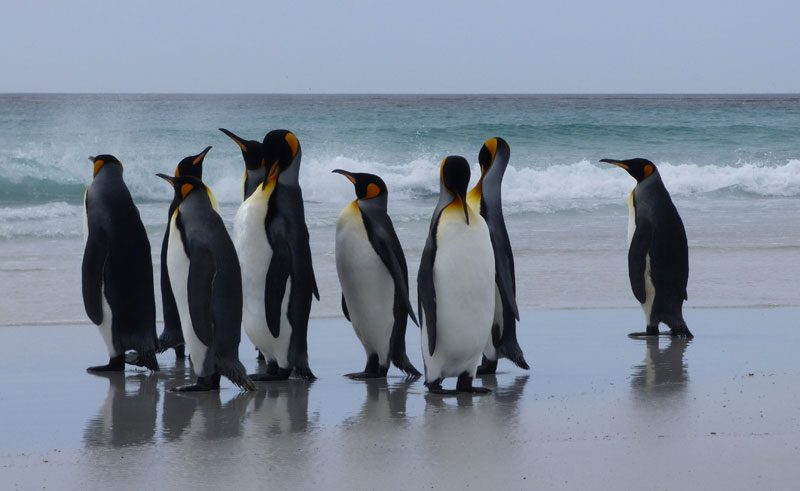 antarctica falklands volunteer point king penguins beach