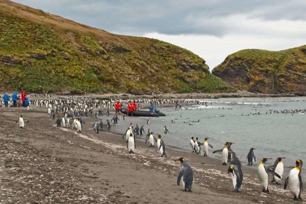 antarctica south georgia king penguins gold harbour istk
