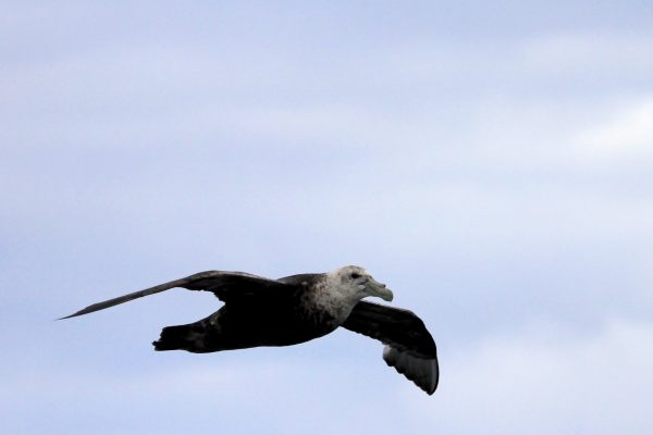 antarctica southern giant petrel istk