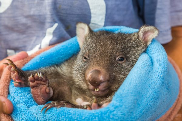 australia new south wales baby wombat in pouch istk
