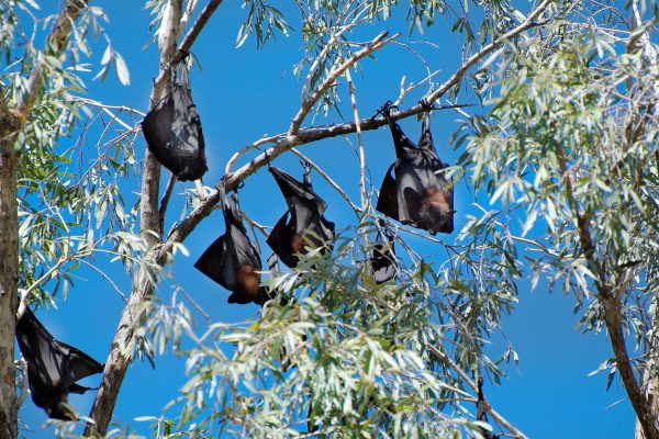 australia northern territory nitmiluk national park fruit bats istk