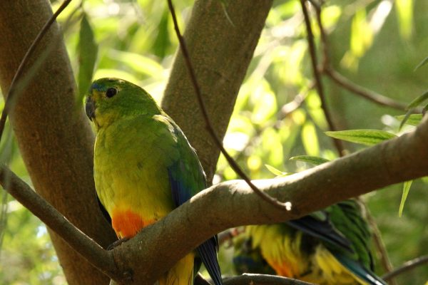 australia tasmania orange bellied parrot istk