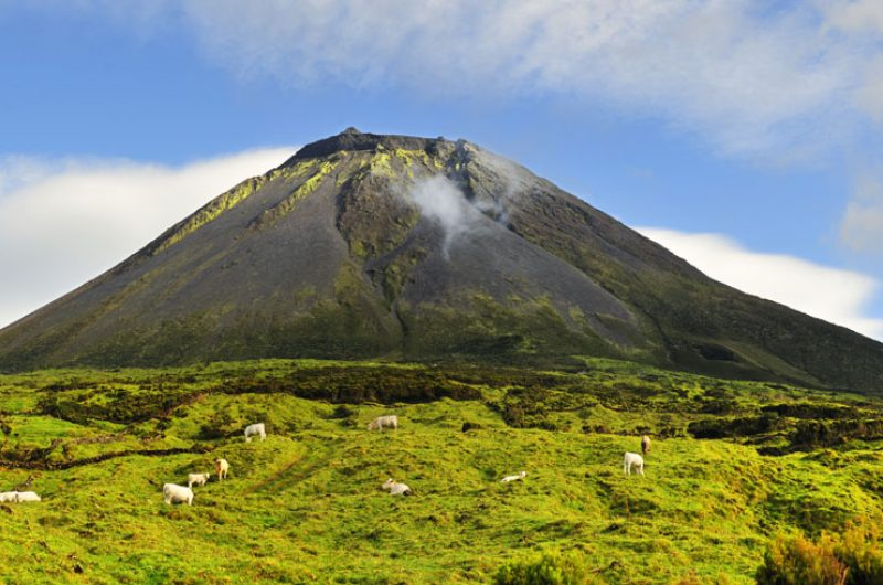 azores mount pico cows grazing