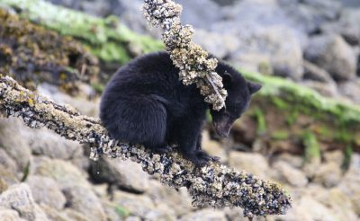 canada tofino bear watch cub
