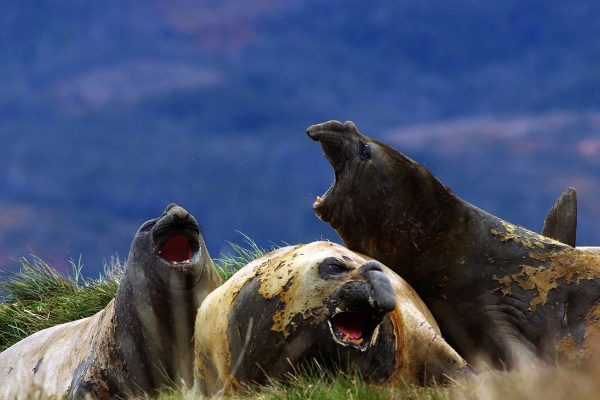 chile patagonia southern elephant seals aust