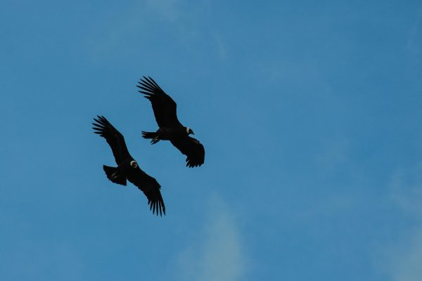 chile patagonia two condors istk