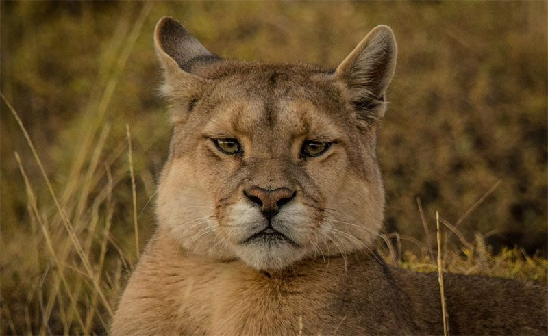 chile patagonia wildlife puma