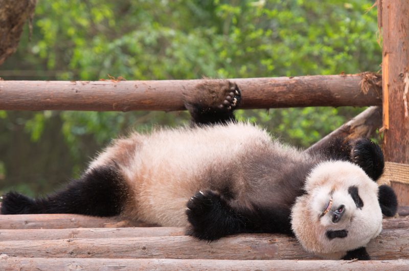 china chengdu lounging panda istk