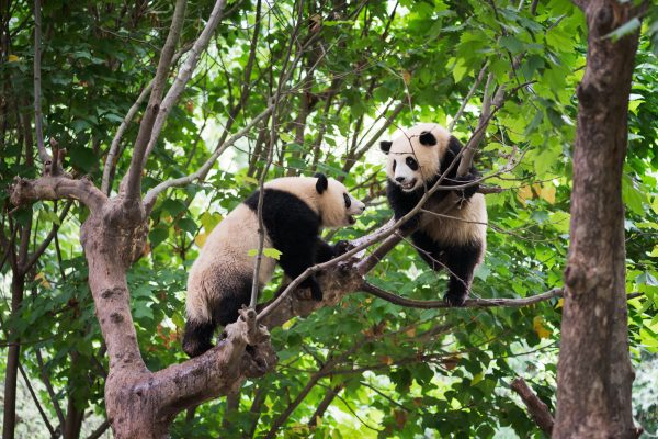 china chengdu panda pair in tree istk