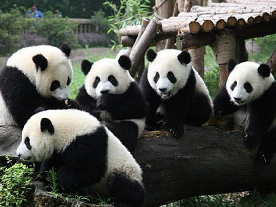 china wildlife pandas
