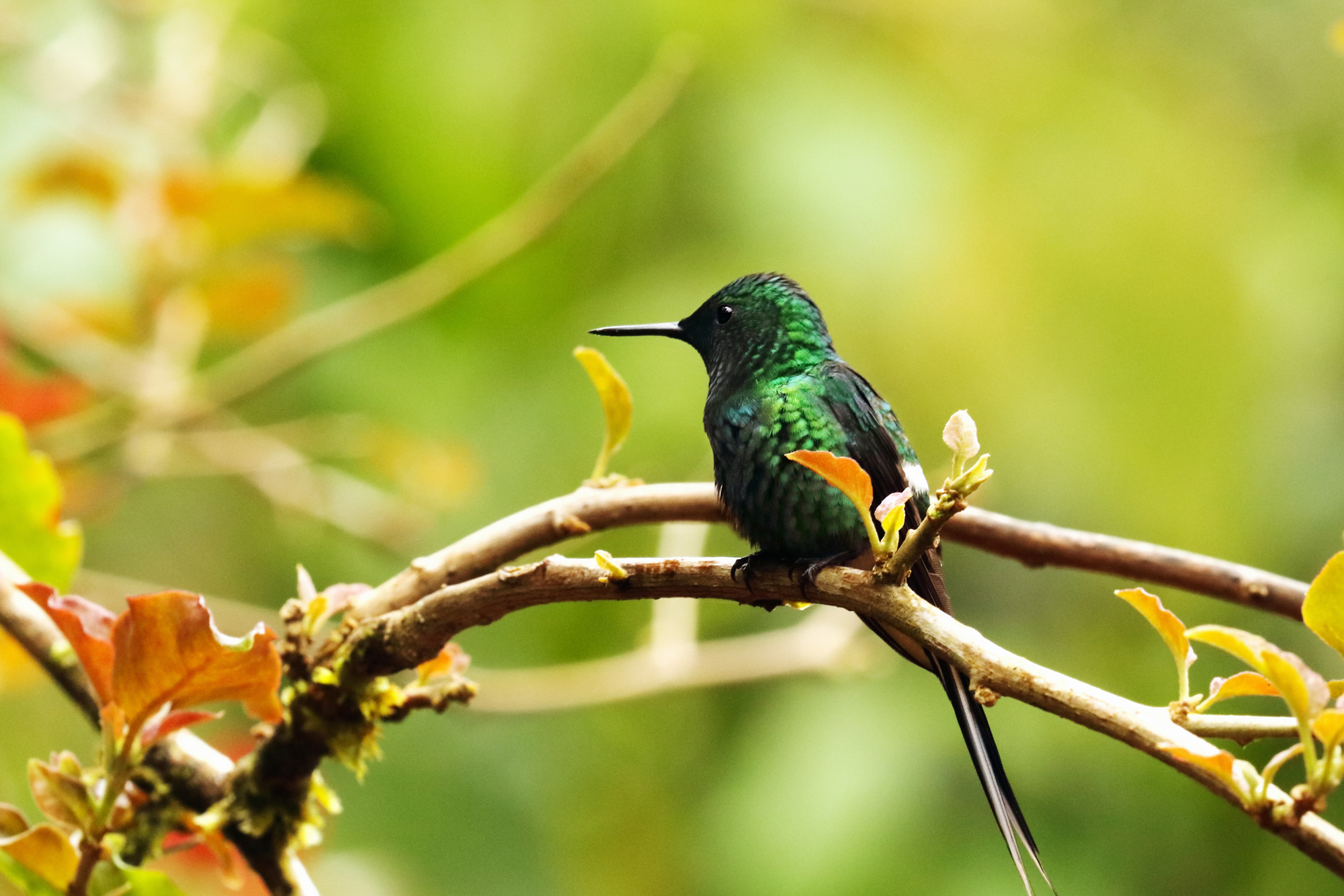 costa rica arenal area green thorntail hummingbird istk