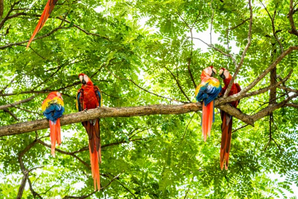 costa rica flock of scarlet macaws istk