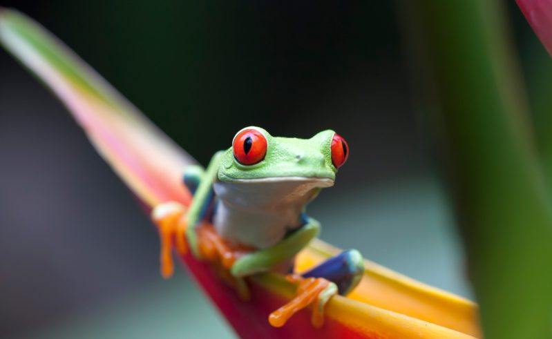 costa rica red eyed tree frog istk