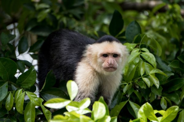 costa rica white faced capuchin monkey istk