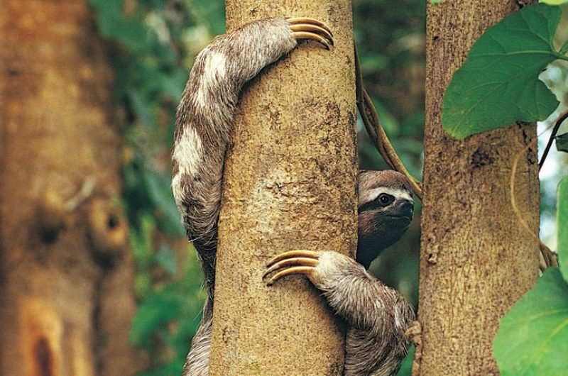 costa rica wildlife sloth rh
