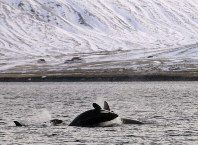 iceland orca group