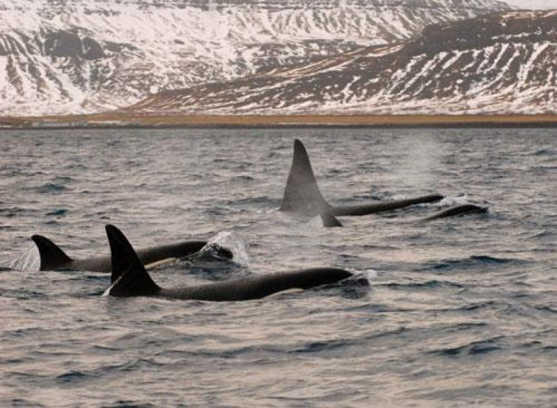 iceland orca group blog