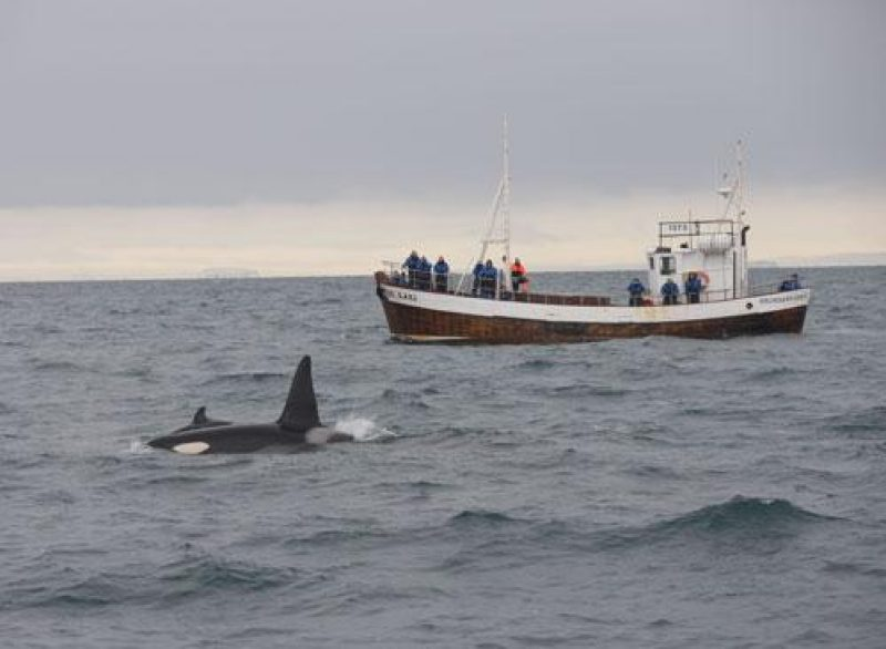 iceland orcas and Laki mid